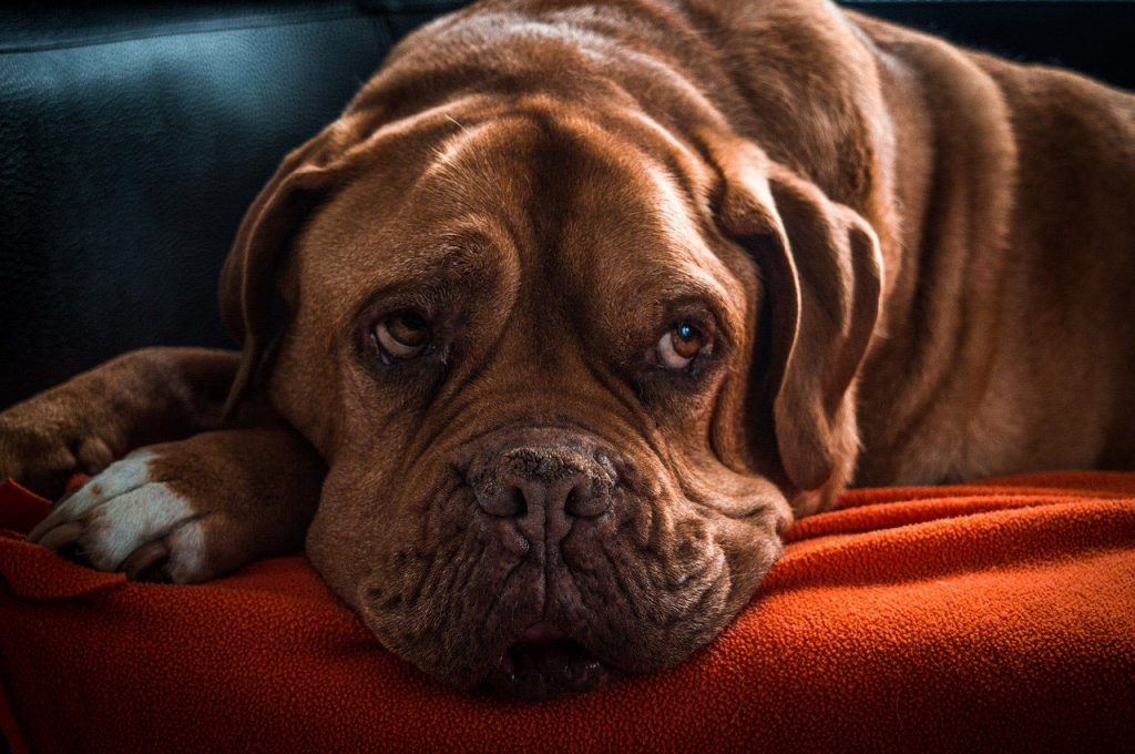 Tips to Taking Care of Old Dogs