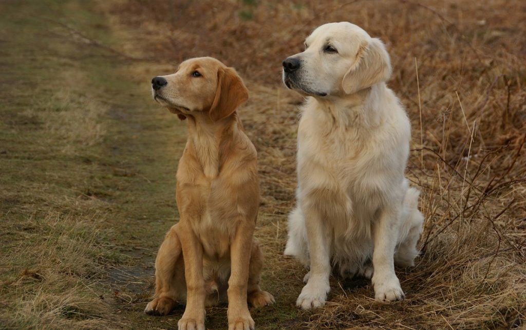 Two dogs sitting on grass watching owner